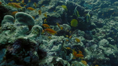UHD underwater shot of coral reef top including schooling tropical fish, Red Sea Stock Footage