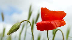 Flowering Red Poppies. Stock Footage