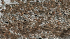 Shorebirds Join Together In Large Flocks On Their Spring Migration Stock Footage