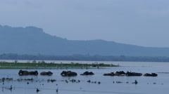 Water buffaloes in Udawalawe Reservoir - stock footage