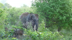 Asian elephant with big tusk - stock footage