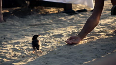 Male hand trying to feed bird on beach  Stock Footage