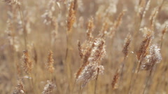 Dry tall grass swaying in the wind Stock Footage