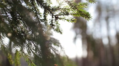Pine branches in the wind and the sun's rays Stock Footage