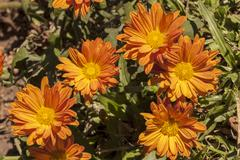 Close up of Orange Chrysanthemum Flowers on Shrub - stock photo