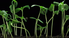 Time-lapse of germinating sunflower seeds in RGB + ALPHA matte format Stock Footage