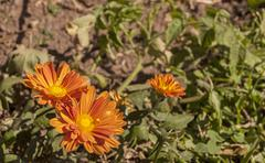 Chrysanthemum Shrub Growing in Dry Arid Soil Stock Photos