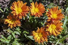 Six Orange Chrysanthemum Flowers Poking Through Green Grass - stock photo