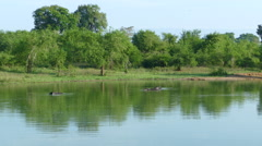 Water buffaloes in a lake Stock Footage