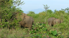 Group Asian elephants eating from the trees Stock Footage