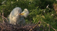 Great Egret young in nest - stock footage
