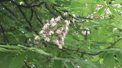 Swaying branches of the chestnut tree with flowers and greenleaves Stock Footage