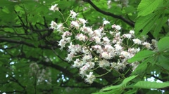Swaying branches of the chestnut tree with flowers almost dried flowers Stock Footage