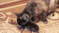 Cat with kittens in teeth Stock Footage
