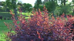 A swarm of little flies lit up by the sun fly above a red bush in park 4k UHD Stock Footage
