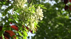 Flowers of a white acacia swaying on a wind, right pan,4k, Ultra HD. Stock Footage