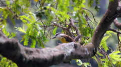 Yellow Bird, Brazil. Bem-Te-Vi Stock Footage