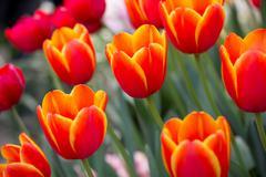 Orange tulip flower in the garden Stock Photos