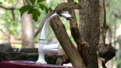 Chipmunk drinks water from the tab - stock footage