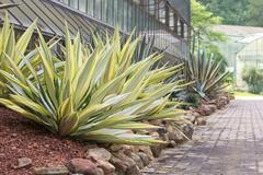 Agave plant decorative at sidewalk Stock Photos