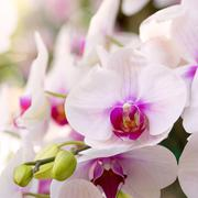 white phalaenopsis orchid flower - stock photo