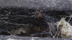 Orb Spiders Come out of Nest. 4k Stock Footage