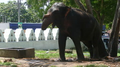 Elephant with a chain at a tree Stock Footage