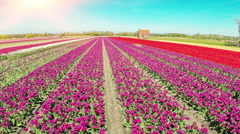 Aerial view of tulips field at sunny spring day Stock Footage