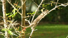 Indian chameleon on a branch Stock Footage