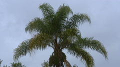 Palm Tree in Rain Storm With Winds. Queen Palm Kind. 4k Stock Footage