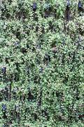 Ornamental plants hang on wall - stock photo