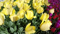 Field of beautiful yellow and bordeau red tulips moving slowly by wind 4k Stock Footage