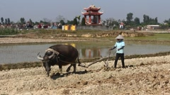 Asian peasantry use water buffalo to plow Stock Footage