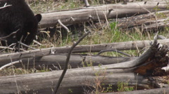 Large black bear eating grass among fallen trees on sunny day Stock Footage