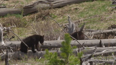 Slow motion medium of two black bear cubs playing on dead tree trunks Stock Footage