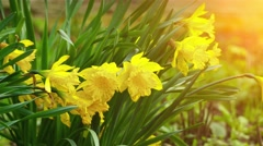 Narcissus pseudonarcissus (Lent lily) Stock Footage