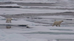 Mother polar bear and her cub on cold ice floe. Arkistovideo