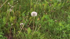 Close up hand cutting dandelion on the green grass. Slowly - stock footage