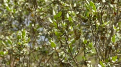 Rhamnus ludovici-salvatoris, endemic of Mallorka Stock Footage