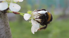 Bumblebee pollinating slowly Stock Footage