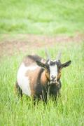 bleating goat - stock photo