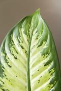 Green leaf of Dieffenbachia. Stock Photos