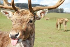 rude deer - stock photo