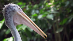 Cinemagraph - Pelican Beak Gular Fluttering - Wildlife Nature Stock Footage