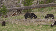 Black bear family with cubs in Yellowstone forest - stock footage