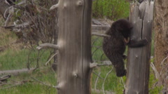 Black bear cub clings to dead broken tree trunk Stock Footage