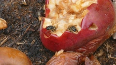 Bee eat rotten apple Stock Footage