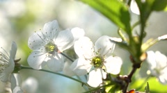 Cherry blossom against blue sunny sky 4K close up shot Stock Footage