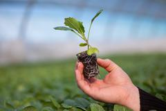 Human hands holding young plant with soil over blurred nature background Stock Photos
