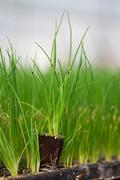 young plant new life ,Green sapling Ecology World Environment Day CSR Seedling - stock photo